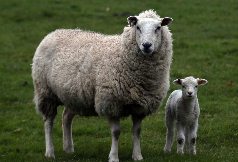 Действия с новорожденным ягненком и другими животными