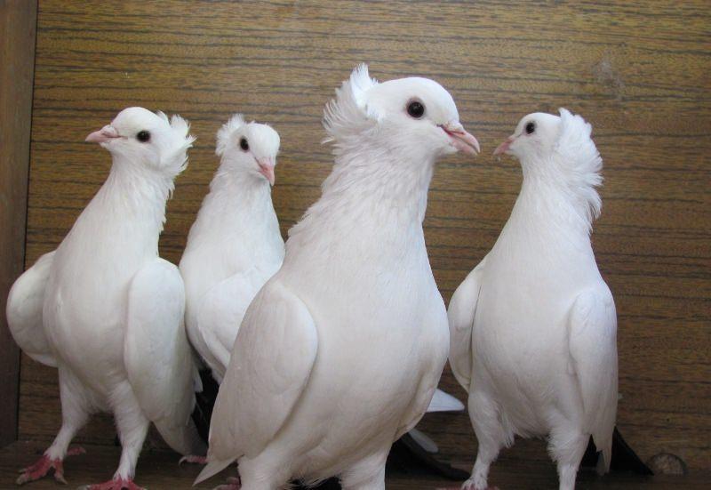 Особенности и породы бойных голубей
