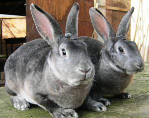 Самые красивые кролики: шиншилловые разновидности