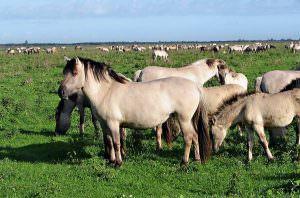 Дикие степные лошади: тарпаны