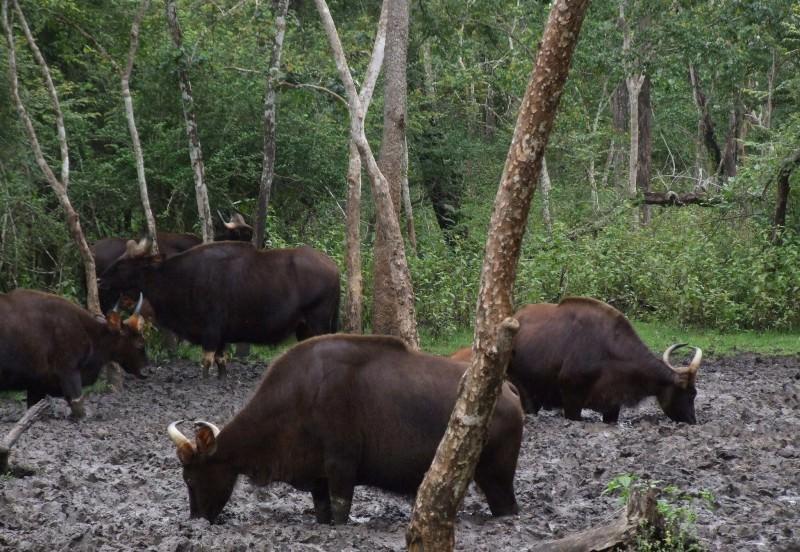 Большие и карликовые дикие быки