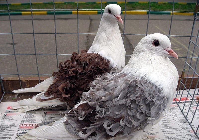 Породы домашних голубей