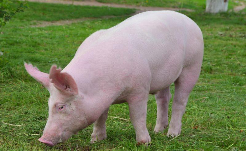 Сколько живет домашняя свинья