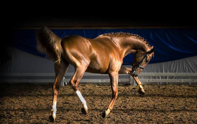 Что представляет собой донская лошадь
