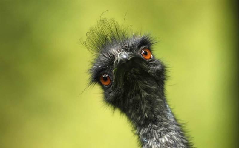 Описание и образ жизни страуса эму