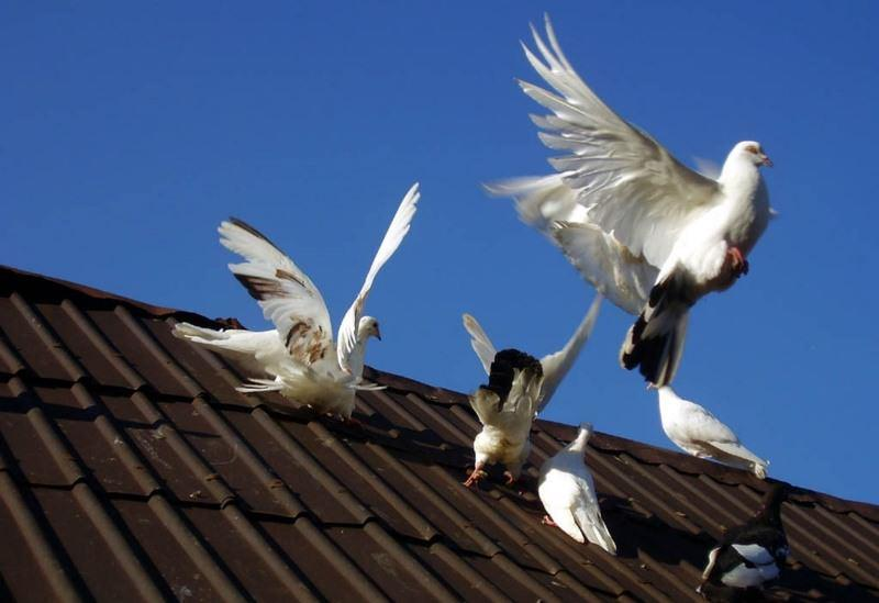 Где обычно живут голуби?