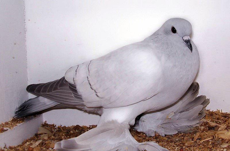 Как дрессировать голубей вертунов