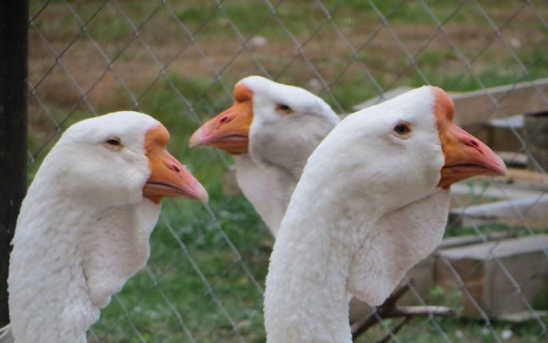 Лучшая мясная порода: холмогорские гуси