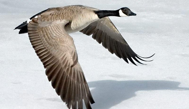 Большой канадский гусь