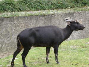Уникальный карликовый буйвол