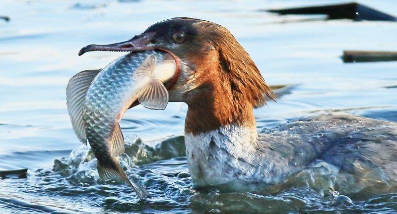 Дикая утка крохаль: образ жизни и места обитания
