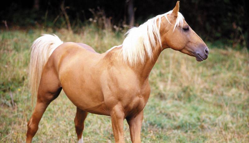 Чем отличается каурая лошадь?