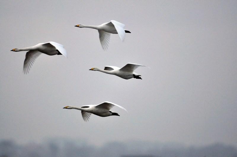 Как ведут себя лебеди осенью