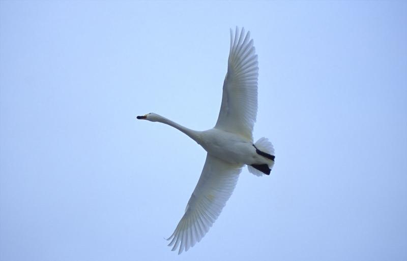 Как определить - лебедь перелетная птица или нет?
