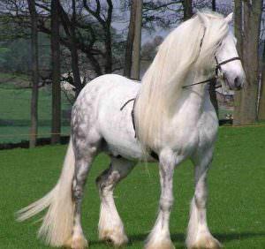 Лошадь породы Першерон - французский богатырь