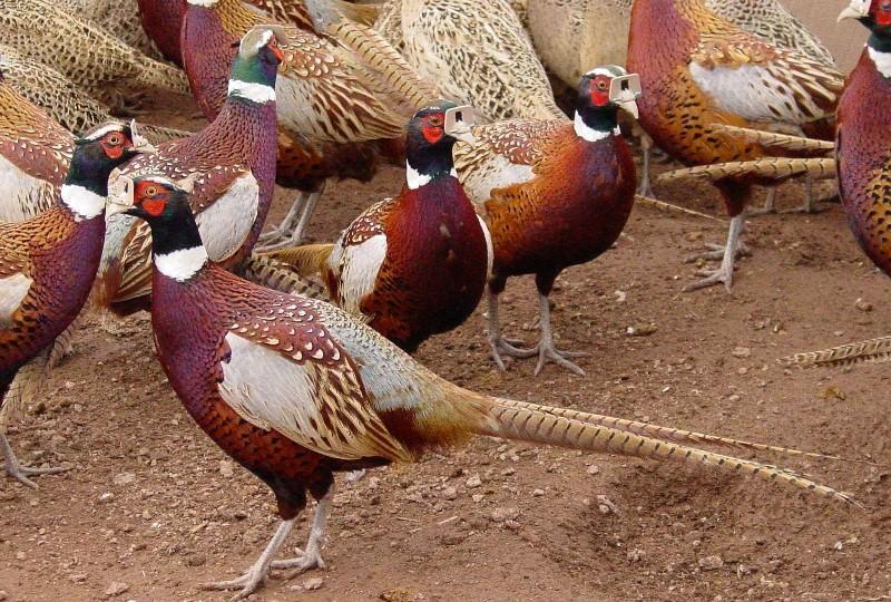 Особенности разведения фазанов