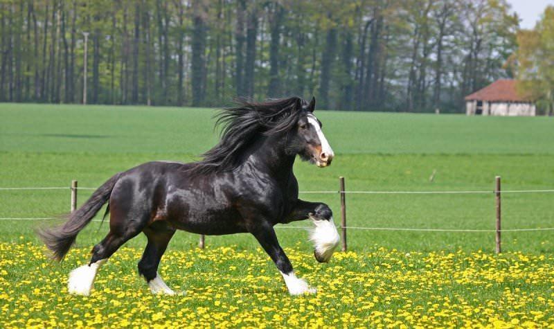 Какая самая быстрая порода лошади в мире?