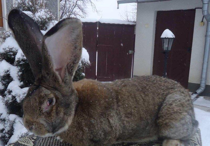Какой кролик самый большой в мире?