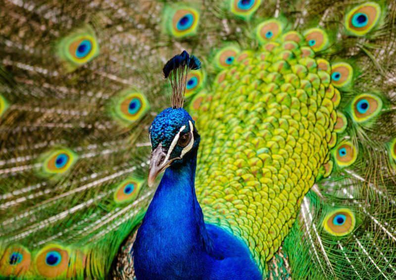 Самка павлина и ее отличия от самца: разновидности, особенности содержания и разведения