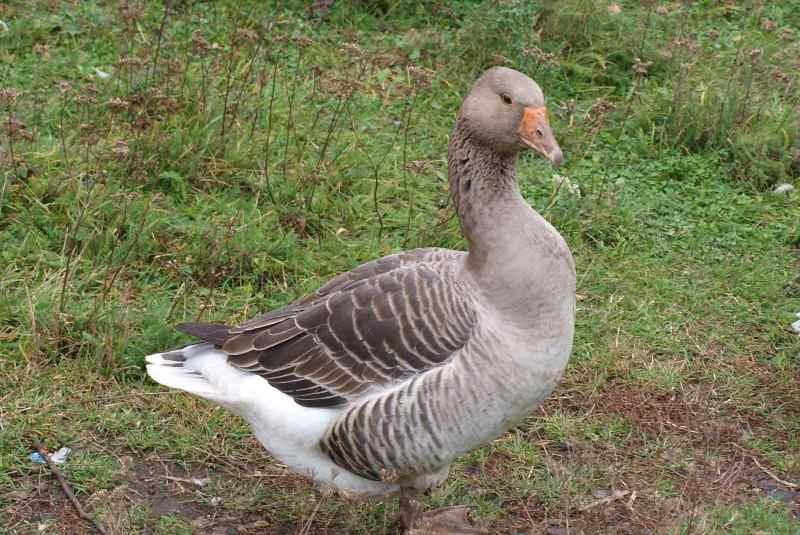Порода серый гусь: описание и содержание птиц