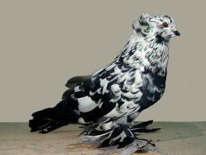 Основные характеристики статных голубей