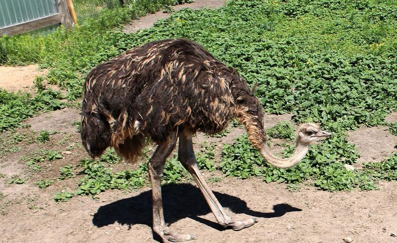 В помощь любознательным: почему страус прячет голову в песок