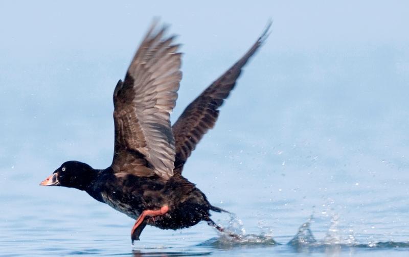 Описание утки турпана