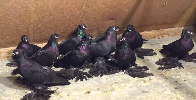 Особенности узбекских голубей