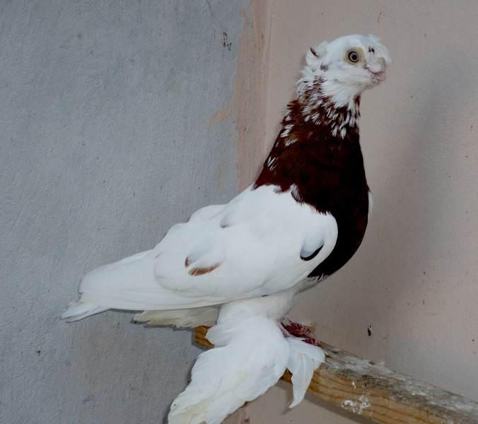 стандарты узбекских бойных голубей