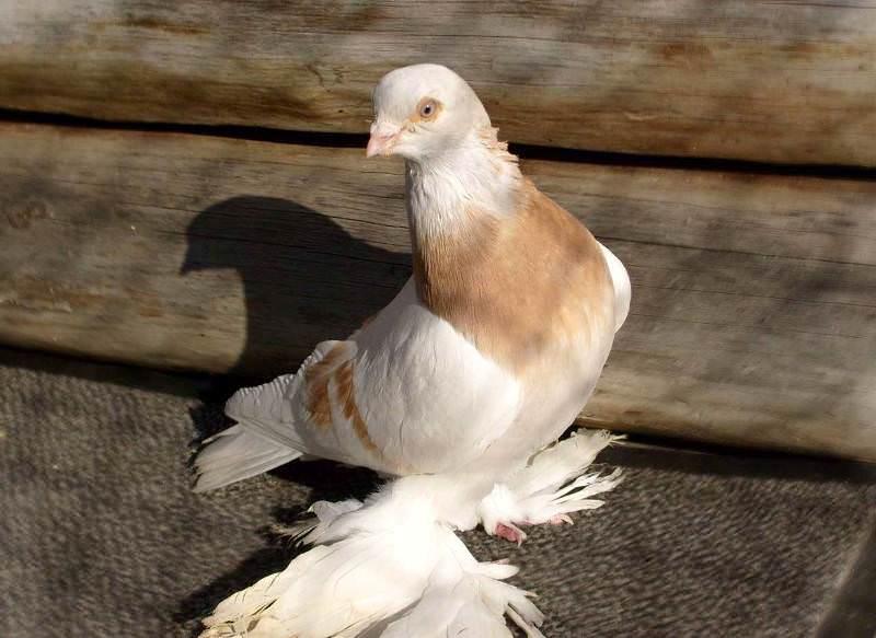 трость, которой голуби баян картинка получить