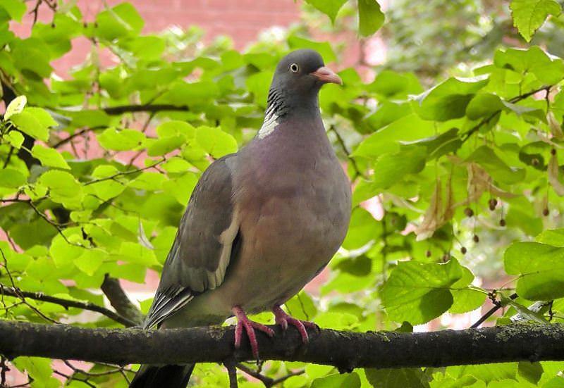 Лесной голубь вяхирь и особенности его жизни