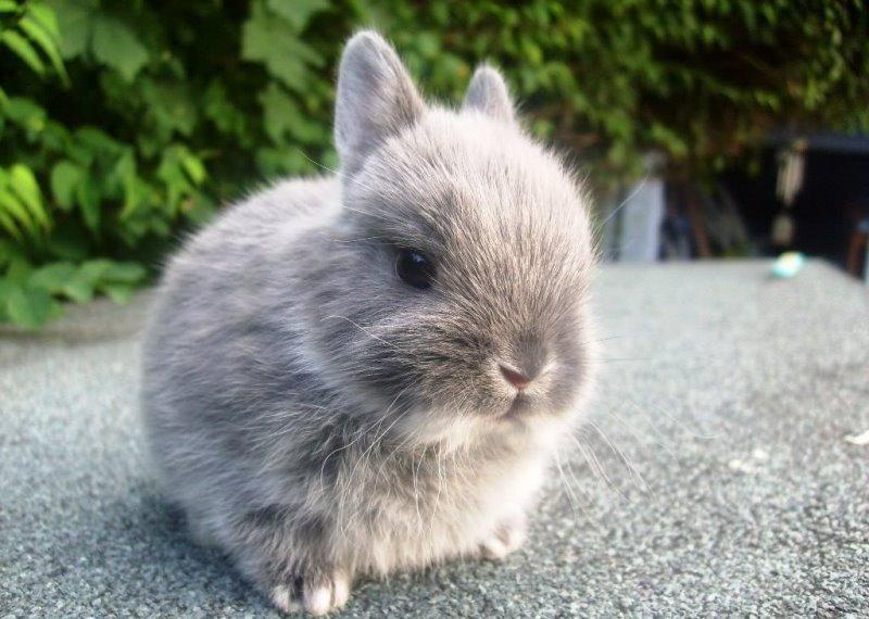 Как содержать декоративных кроликов в домашних условиях