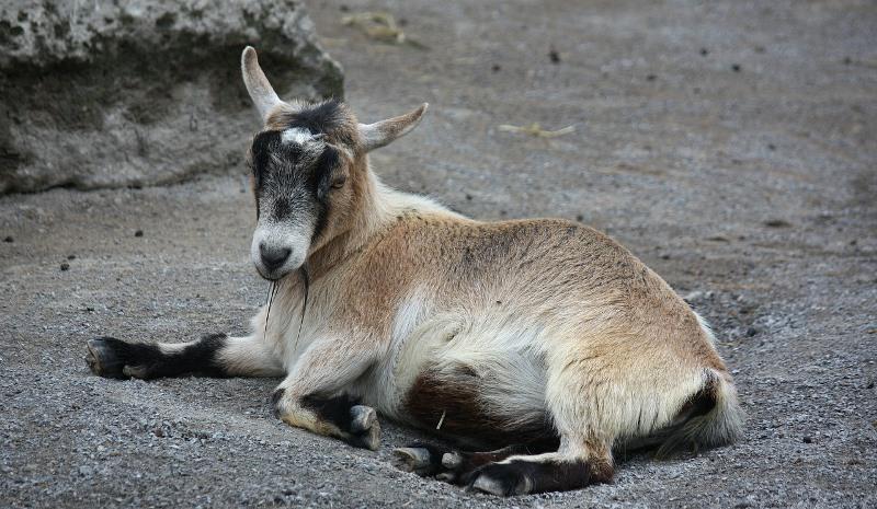 Чем отличается дикая коза от домашней