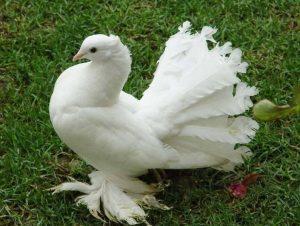 Основные породы голубей