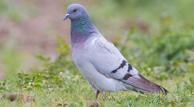 Декоративные голуби основные породы