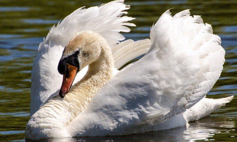 Как живут лебеди кликуны