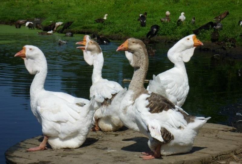 Основные породы гусей