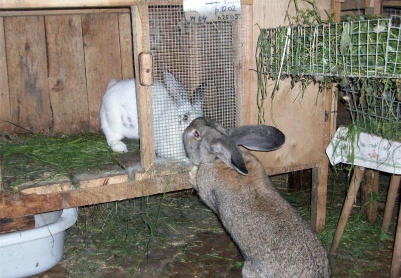 Традиционные и современные породы кроликов