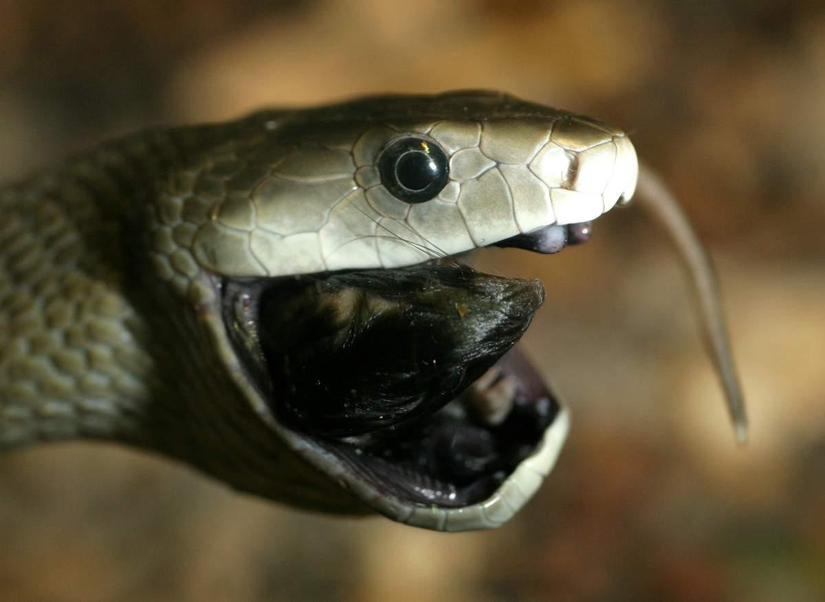 фото змей мамба