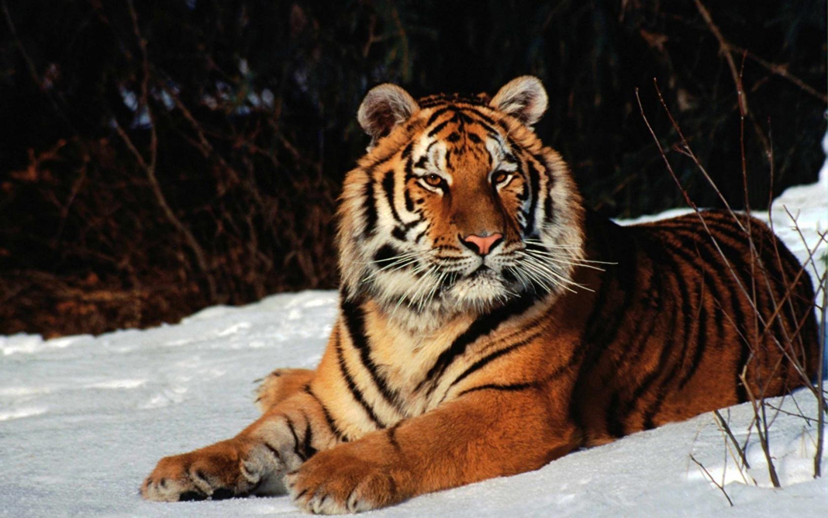 Уссурийский тигр среда обитания