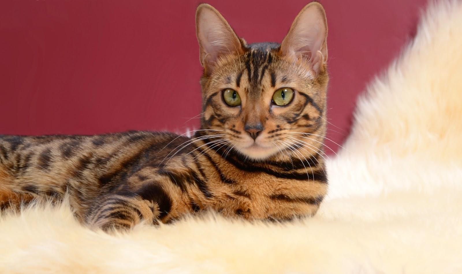 бенгальские коты характер особенности запросу парадная форма