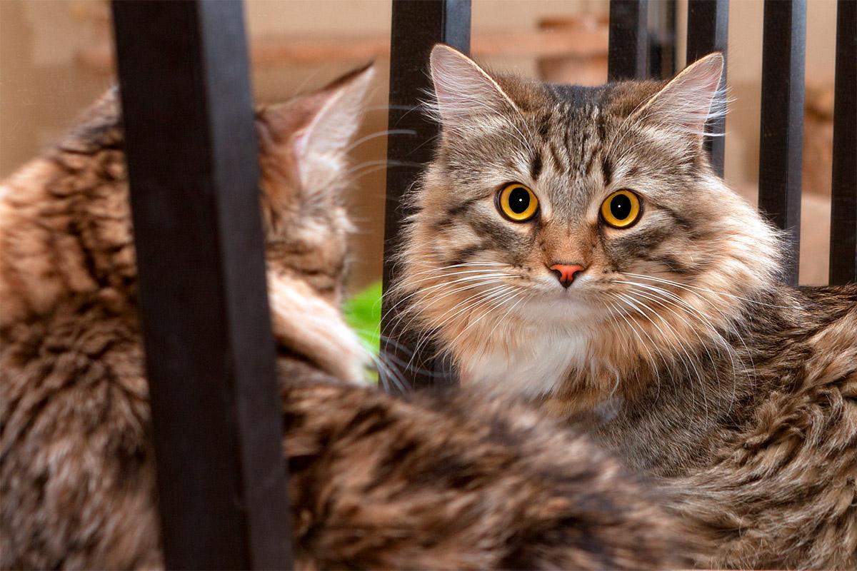 Почему кошка смотрит в зеркало. Видят ли кошки отражение в зеркале Почему коты боятся зеркал