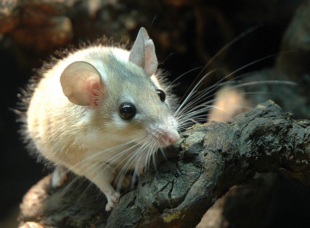 египетская мышь