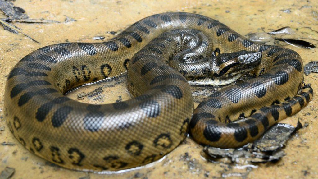 Змея анаконда фото