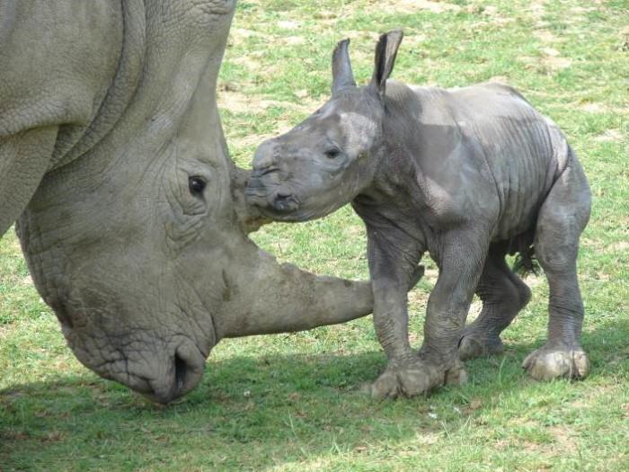 Белый носорог с детенышен фото