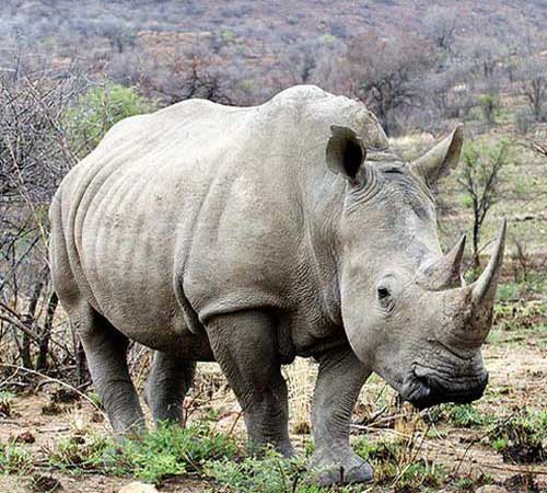 Белый носорог фото