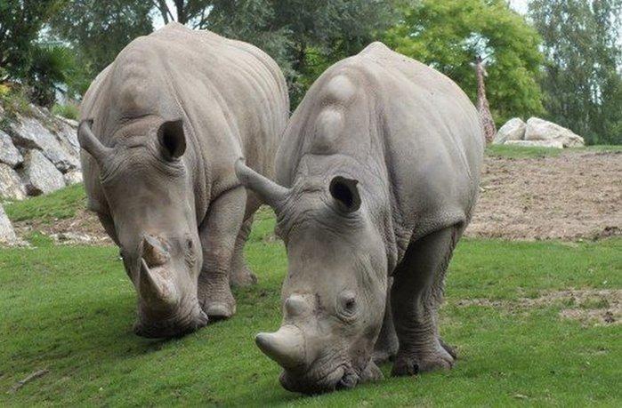 фотографии белых носорогов