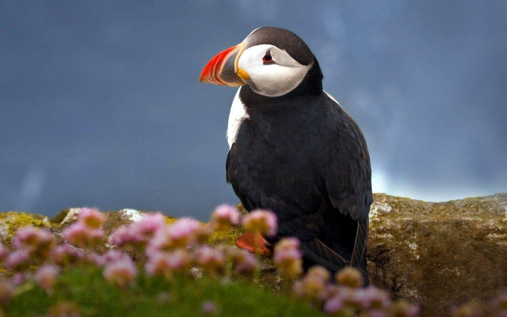 тупик птица фото