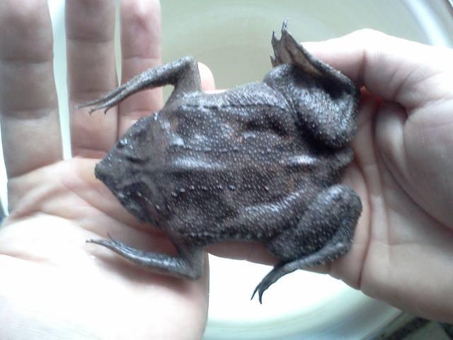 жаба пипа суринамская фото