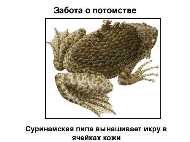 жаба пипа фото
